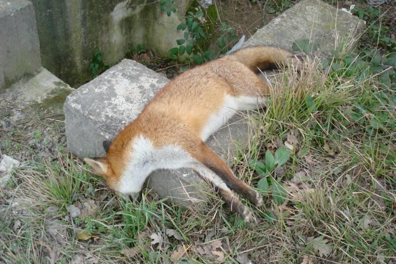 Trovate due volpi morte probabilmente sono state for Dove vive la volpe