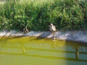 Il comune i germani reali nel laghetto delle vergini for Laghetto per anatre