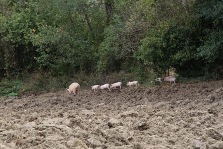 I maiali nella zona dell'allevamento
