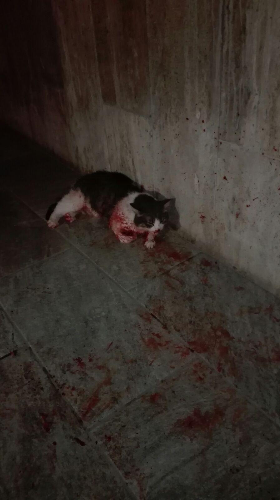 Persone Attaccate Da Pitbull.Pitbull Senza Museruola In Centro Ne Fa Le Spese Una Gattina