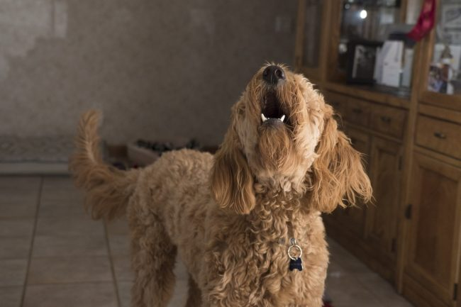 cane-che-abbaia-2-650x433