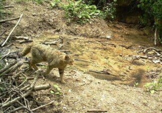 gatto-selvatico-sibillini