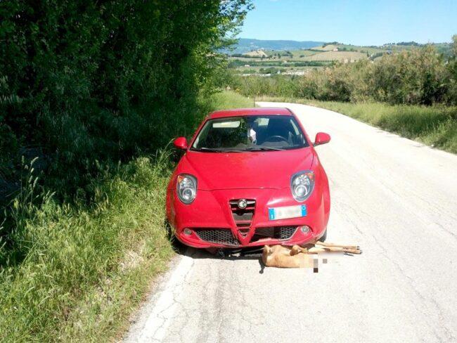 incidente-capriolo-divina-pastora-1_censored-650x488