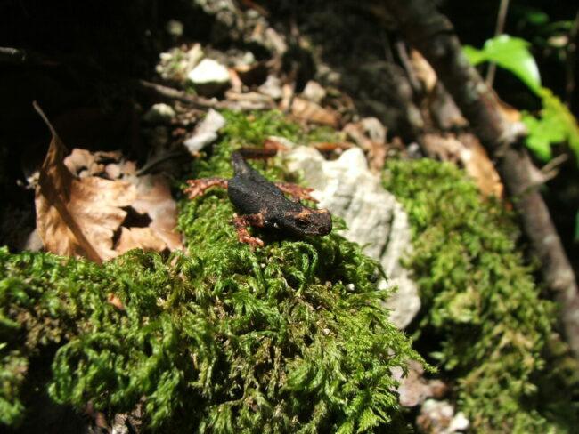 salamandrina
